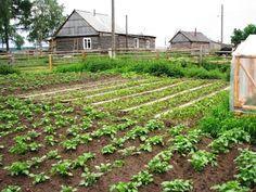 Гениальные хитрости огородников Пока у моркови не появились всходы, ее поливают регулярно. Когда появятся всходы, их 12-15 дней лучше не поливать, за исключением засушливых дней. Это дает возмож…