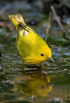 A Yellow Warbler sees his reflection while getting a drink at a pool of water.