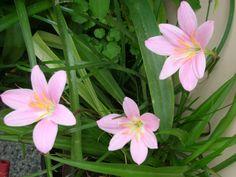 zefirvirág, Habranthus Robustus, Zephyranthes Robusta, Rain Lily!