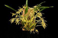 Maxillaria tenuis_4965