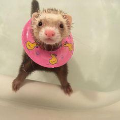 今年のヨゴレ、今年の内に。 ♨♨♨ #お風呂 #bathtime #ferret #ferrets #ferretgram #ferretism #ferretsofig #ferretlife #petstagrm #pet #フェレット #フェレット部 #ふわもこ #animals #animal #イタチ #いたち #鼬