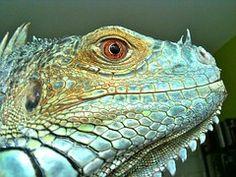 Iguana, Reptile, Lizard, Green, Blue