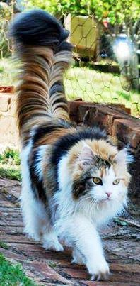 Nice tail ;) Pretty Kitty, Pretty Baby, Calico Cats, Turkish Van Cats, Persian Cats, Prettiest Cat, Animals Images, Cute Animals, Fluffy Animals