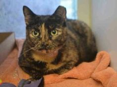 NEW PHOTO! POOR KAREN - DUMPED FOR NO TIME!! GINGIVITIS, OVERWEIGHT- 4 YRS OLD, SPAYED - NEEDS OUT!!  A volunteer writes: As you pass by Karen's kitty condo, she will look at you so lovingly. She is mellow and affectionate, and it is said that she prefers to be an