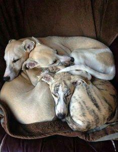 Love greyhounds!