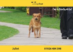 Juliet here from Kenilworth will need to live with another dog in her new home as she gains in confidence when her kennel mate is around. Dogs Trust, Close To My Heart, Teenagers, Confidence, Adoption, Shell, Homes, In This Moment, Live