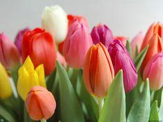 beautiful tulips colors