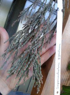 Sequoiademdron giganteum