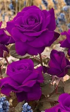 On Happy Rose Day 2019 , lovers buy roses and present them to their lovers. Rose Flower Quotes, Red Rose Flower, Beautiful Rose Flowers, Exotic Flowers, Amazing Flowers, Flower Art, Purple Roses, Pink Flowers, Sunflower Wallpaper