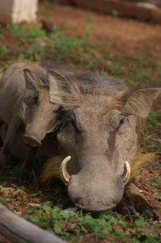 Warthogs, Mole National Park
