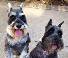 Esther and Aubrey, miniature schnauzers