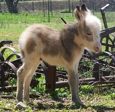miniature sicilian donkeys - i want one of these!!