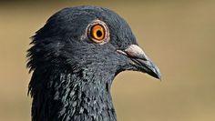 La paloma mensajera de Google: Tips para Google Pigeon - http://www.misapisportuscookies.com/2014/10/la-paloma-mensajera-de-google-tips-para-google-pigeon/