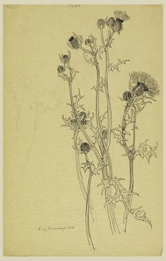 thistle drawing - Google Search