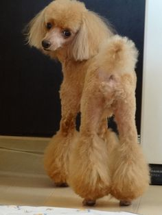 chewie, toy poodle