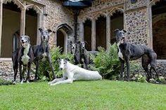 norwich greyhound rescue