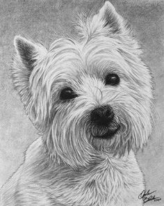 Hyper Realistic Pencil Drawings of Dogs Westie Dog Drawing by Mike Theuer, a professional portrait a