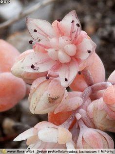 Sedum pedicellatum lusitanicum - Flor (close-up) | Miguel Porto; CC BY-NC 4.0
