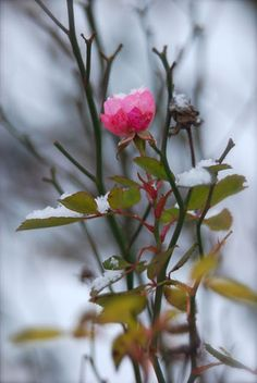 One little fairy rose (R. 'The Fairy') still hanging on in the snow.