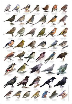British Birds Identification Chart Wildlife Poster NEW British Birds Identification, Leaf Identification, Backyard Birds, Garden Birds, British Garden, European Garden, Bird Poster, British Wildlife, Wildlife Art