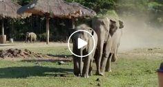 Esta é a Reação Que Os Elefantes Têm Quando Veem o Seu Tratador Favorito