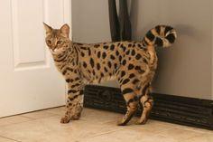 Savannah (cat): a cross between a serval and a domestic cat