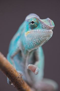 Panther Chameleon by Geoff Simpson