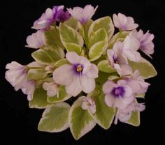 """Miniature Chimera African Violet """"Robs Lucky Penny"""""""