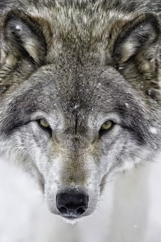 I Dare You | Close-up of a grey wolf | by Daniel Parent on 500px