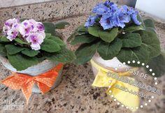 Como plantar e cuidar de violetas