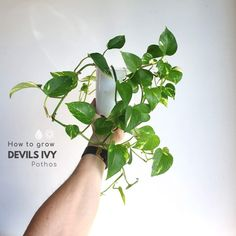 How to grow Devils Ivy (also called Pothos) - PlantMaid Fall Planters, Garden Planters, Ivy Plant Indoor, Ivy Plants, Potted Plants, House Plant Care, Paludarium, Bedroom Plants, Plant Needs