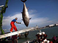 More about tuna farming (german language) @ http://www.dradio.de/dkultur/sendungen/weltzeit/2108726/