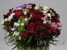 Today in the OZ Export webshop Specials: Dianthus barbatus Mix p/bunch, 45 cm, AA Quality. Check with your OZ-vendor.