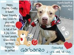 GARBANZO – A1100908 Very handsome and well mannered dog is on death list today! If you would like to foster or adopt and can't make it to the shelter, please write an email NOW to the Urgent Help Desk at Helpdogs@Urgentpodr.org Their experienced volunteers will assist you one-on-one with rescues and the application process. Transport can be arranged by rescues to the homes of approved fosters or adopters within 3-4 hours of New York City