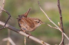 Winter wren | Flickr - Photo Sharing!