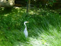 Heron at Bosherston lily ponds Lily Pond, Ponds, Heron, Animals, Animales, Animaux, Herons, Animal, Animais
