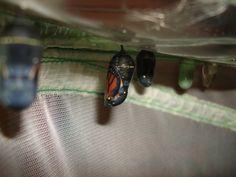 Monarchs #3