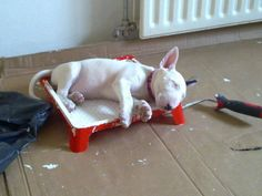 Bull Terrier From Jonathan Carroll's FB page.