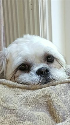 Presley look at my lashes Small Puppies, Cute Puppies, Lhasa Apso Puppies, Cute Baby Dogs, Cute Dog Photos, Shih Tzu Puppy, Teacup Puppies, White Dogs, Dog Grooming