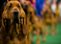 Annual Westminster dog show – in pictures   Life and style   The Guardian