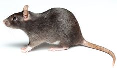 Rat prevention and pest control