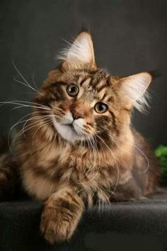 Maine Coon cutie http://www.mainecoonguide.com/adopting/