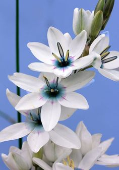 Ixia monadelpha - This South African Cape native bulb creates quite the dazzling display in March & April. The six-petalled, star-shaped flowers can vary in color from white to pink to purple – we've carefully separated out the most stunning ones for you; ours are brilliant white with a startling, blue eye.