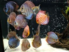 How to Care for Discus Fish, mistakes and lessons