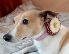 Dog collar flowerDog collarBrown Ivory dog collar by AirinFlowers #DogAcccessory #PetAccessory #DogClothes #kanzashi #PetSupplies #CollarFlower