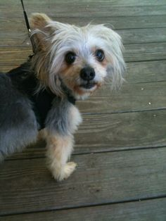 Scooter is a 4 year old yorkie/pappilion mix that was rescued from a local shelter.  He is a sweet boy who would do better in a home without kids.  He is heart worm positive but has been started on Heartguard.  If you are interested in adopting...