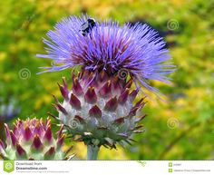 Bee On Artichoke Flower - Download From Over 30 Million High Quality Stock Photos, Images, Vectors. Sign up for FREE today. Image: 242867