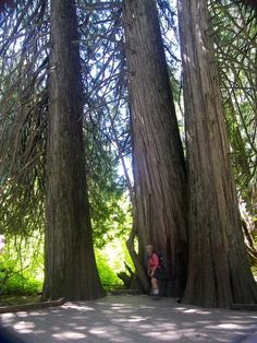 Easy nature trail through 1000 year old huge old growth Cedar and