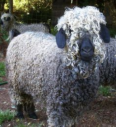 ARGENTINA - CURLY SHEEP