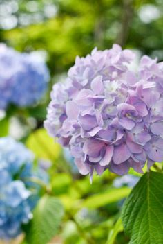 hydrangea (lots of these beauties in the garden ... and in this Pinterest board!)